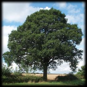 The War And Peace Blog The Symbolism Of The Old Oak Tree