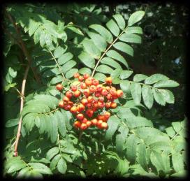 The Rowan Tree and Berries