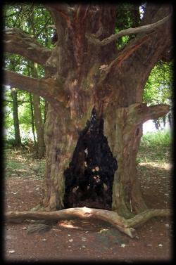 The yew - sacred tree of transformation and rebirth
